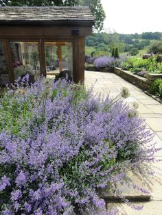 Nepeta flowers throughout the summer