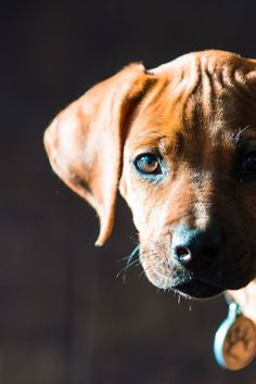 you-are-insane-desire-to-live : Фото Cute Puppies, Cute Dogs, Dogs And Puppies, Doggies, Lion Dog, Dog Cat, Rhodesian Ridgeback Puppies, Vizsla, Animals And Pets