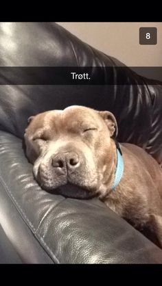 Tired sweet english staffordshire bull terrier