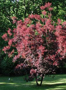 2180 best front yard images on pinterest in 2018 gardens 18 inch cotinus coggygria black velvet smoke tree this slow growing 12 to 14 foot mightylinksfo
