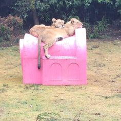After breakfast nap. That dog house has been one of the best investments I've done :) Siesta después de desayunar. Esa casita ha sido una de las mejores inversiones que he realizado :) #babybeverly #babybradshaw #savelions #saveourplanet #behuman #notpets #nosonmascotas #blackjaguarwhitetiger #rescuedlions