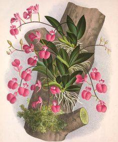 """Olímpia Reis Resque: Verdadeiros jardins suspensos """"...É o andar das epífitas, orquídeas de flores caprichosas, gravatás de brilhante colorido, e outras, e outras muitas..."""".  Texto de Cândido de Mello-Leitão (1886-1948) com ilustração em:  Lindenia-iconographie des orchidées, v. 4, 1888. www.biodiversitylibrary.org. Leia mais em:  olimpiareisresque.blogspot.com Nature Illustration, Botanical Illustration, Botanical Flowers, Botanical Prints, Watercolor Flowers, Watercolor Paintings, Botanical Drawings, Bird Drawings, Arte Floral"""