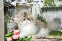 Golden & White Bi-Color Persian Kitten