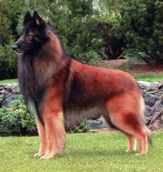 Red Belgian Tervueren dog