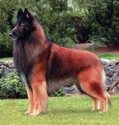 Red Belgian Tervueren dog