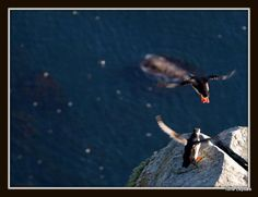 ATLANTIC PUFFIN. RUNDE, NORWAY. TONE LEPSOES PICTURES.