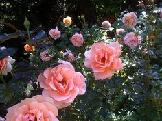 rose-invasion