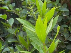kruidenwijzer Magic Herbs, Homemade Seasonings, Spices And Herbs, Edible Plants, Healing Herbs, Medicinal Plants, Natural Medicine, Growing Vegetables, Garden Plants
