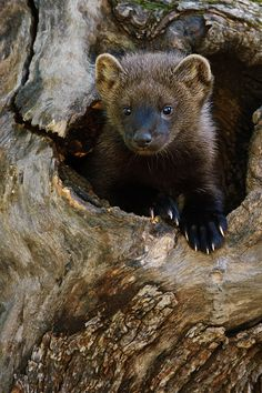Little fisher cat peeking out of its log den. Fisher cats (Martes pennanti) are members of the marten family. Fisher Cat Pictures, Beautiful Creatures, Animals Beautiful, Fisher Animal, Animals And Pets, Cute Animals, Nature Animals, Woodland Animals, Baby Animals