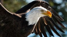 Bald Eagles: Conservation Success Story in Vancouver