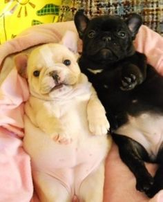 Ahhhhhh baby French Bulldog puppies, look at those bellies!