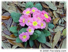 Kääpiöesikko - Primula Vulgaris