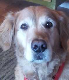 This is Hayden - 8 yrs. He is an owner surrender because he has a habit of eating things that he shouldn't - baby toys, socks etc.. He will aslo countersurf given the opportunity. Hayden is potty & crate trained, knows some commands, rides well in a car & needs leash work. Hayden needs an experienced dog owner & no small kids in his forever home. He is at Goldheart Golden Retriever Rescue, Maryland.
