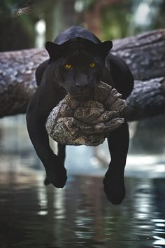 Panther by Charlie Burlingame /Panthère noire Nature Animals, Animals And Pets, Baby Animals, Funny Animals, Cute Animals, Wildlife Nature, Wild Life Animals, Pretty Animals, Jungle Animals