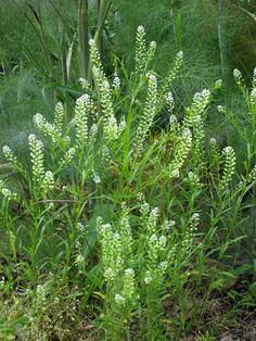 Peppergrass is a natural source of protein and vitamins A and C and, if you do a little herbal sleuthing, you'll find past and present medical uses.