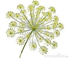 Dill flower powerful against evil