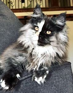 amazing coloring on this long haired kitty.Wow, amazing coloring on this long haired kitty. Cute Cats And Kittens, Cool Cats, Kittens Cutest, Pretty Cats, Beautiful Cats, Animals Beautiful, Funny Animals, Cute Animals, Funny Cats