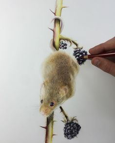 Harvest Mouse. Wildlife and Domestic Animal Drawings. By Paul miller.