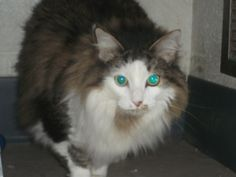1085 Sammy is an adoptable Maine Coon Cat in Fredericksburg, VA. I am available for adoption now. Please come and visit me. Please spay or neuter and microchip your pet today. Please come down and mee...