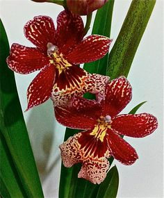 Burrageara Nelly Isler Types Of Orchids, Wild Orchid, My Secret Garden, Exotic Flowers, House Plants, Shapes, Rose, Pink, Nature