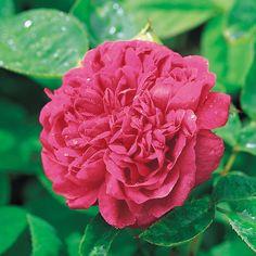 Rose de Rescht - David Austin Roses for front of border David Austin Roses, David Austin Climbing Roses, Magenta Flowers, Fuchsia, All Flowers, Fragrant Roses, Shrub Roses, Floribunda Roses, Rose Varieties