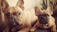 Charlie and Gibson Bring Two Times the Frenchie Fun to Instagram - http://tech.onwired.biz/social-media/charlie-and-gibson-bring-two-times-the-frenchie-fun-to-instagram/