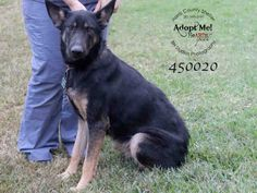 LUNA - A450020   I am a female, black and brown German Shepherd Dog mix.  The shelter staff think I am about 3 years old.  I have been at the shelter since Dec 30, 2015.  HARRIS COUNTY PUBLIC HEALTH & ENVIRONMENTAL SERVICES  612 Canino Rd  #Houston TX 77076  Ph 281-999-3191