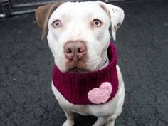 TO BE DESTROYED ~SAT 4/19/14 Manhattan Center    STIRRUPS - A0995671    FEMALE, WHITE / BROWN, PIT BULL MIX, 3 yrs  STRAY  04/03/2014  Likely housetrained. Her leash manners are lovely, and we have an easy walk around the block before heading into the backyard. Likely had several litters. Coming when I call to her, she takes treats gently and loves to run after a tennis ball. She's gentle, calm and low key and waiting patiently for her new family to adopt her.