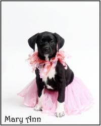 Mary Ann is an adoptable Labrador Retriever Dog in Richardson, TX. Remember Mary Ann, sister to Gilligan, Bradley, and Peyton, and daughter of Lucy, all of whom were pulled (along with 4 more of Lucy'...