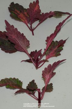 Coleus- rooting instructions. This is pretty much how I root mine, except I use miracle grow potting medium.