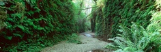 Fern Canyon, Prairie Creek Redwoods SP near Crescent City, Ca.