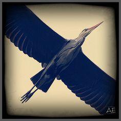 Heron by AngelEowyn