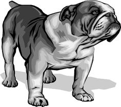 Bulldog Drawings | Breeds of Bulldog: all Bulldog breeds information