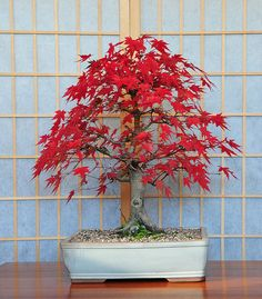~~Japanese Mountain Maple Bonsai Tree (Acer palmatum) Red Autumn Colors by Steve Greaves~~