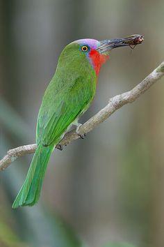 Redbearded Bee-eater