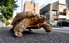 Bon-chan, a 19 year old male African spurred tortoise weighing about 70 kg (154 pounds), walks with his owner Hisao Mitani on a street in the town of Tsukishima in Tokyo