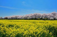 権現堂桜堤(埼玉県幸手市) #GongendoPark #CherryBlossoms #Sakura #RapeBlossoms Satte City Saitama