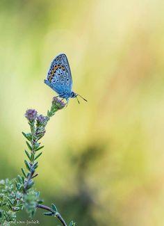 Wat zijn de heideblauwtjes toch mooie vlindertjes... Foto en tekst: Ingrid Van Gulick-Gerrits Cute Butterfly, Insects, Animals, Animales, Animaux, Animal, Animais