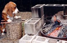 Buster, Basset Hound, roasting his own hot dogs over the campfire near Rimrock Lake, Cascade Mountains, WA.