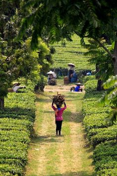 cosechando té en Indonesia! pic.twitter.com/8q0wKna5u2