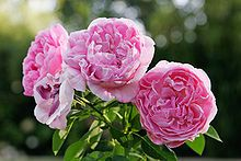 David C.H. Austin - Wikipedia, the free encyclopedia en.wikipedia.org1600 × 1067Search by image David Austin English Rose 'Mary Rose' 1983 (named after the ship Mary Rose) in the Albury, New South Wales Botanical Gardens.