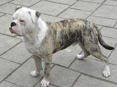 Blue Blood Bulldog, Blue Bulldog, American Bulldog Puppies, American Bulldogs, American Pitbull, Pet Dogs, Dogs And Puppies, Doggies, Bulldog Breeds