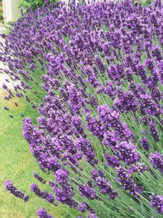 Lavender, Lavandula angustifolia; 3 feet high, 4 feet wide, Full sun, Well-drained soil, H8-5