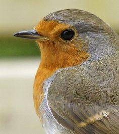 Robin, Devon | Flickr - Photo Sharing!