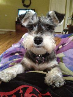 :) Zoey at six months ! Schnauzer Puppy