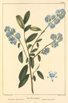Tree Ceanuthus by Pancrace Bessa (1772-circa 1835). From 'The North American Sylva' (1841-1849). Published by J. Dobson.