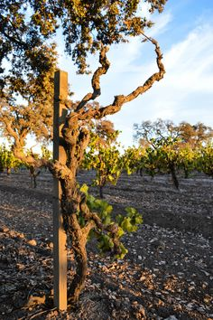 Looking forward to simple Travel Dream #33: sipping wine in neighboring Lodi.  Old Vine, New Wine Country in Lodi, California