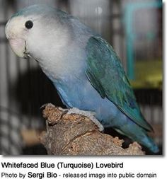 Whitefaced Blue (Turquoise) Lovebird
