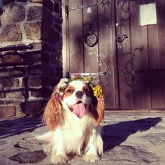 Winston the cavalier - If you're going to San Francisco be sure to wear some flowers in your hair