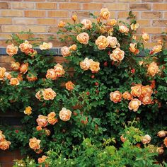 English Roses Lady of Shalott - English Rose Climbers - English roses - bred by David Austin Roses David Austin, David Austin Rosen, Beautiful Roses, Beautiful Gardens, Comment Planter Des Roses, Deadheading Roses, Rose Care, Shrub Roses, Growing Roses